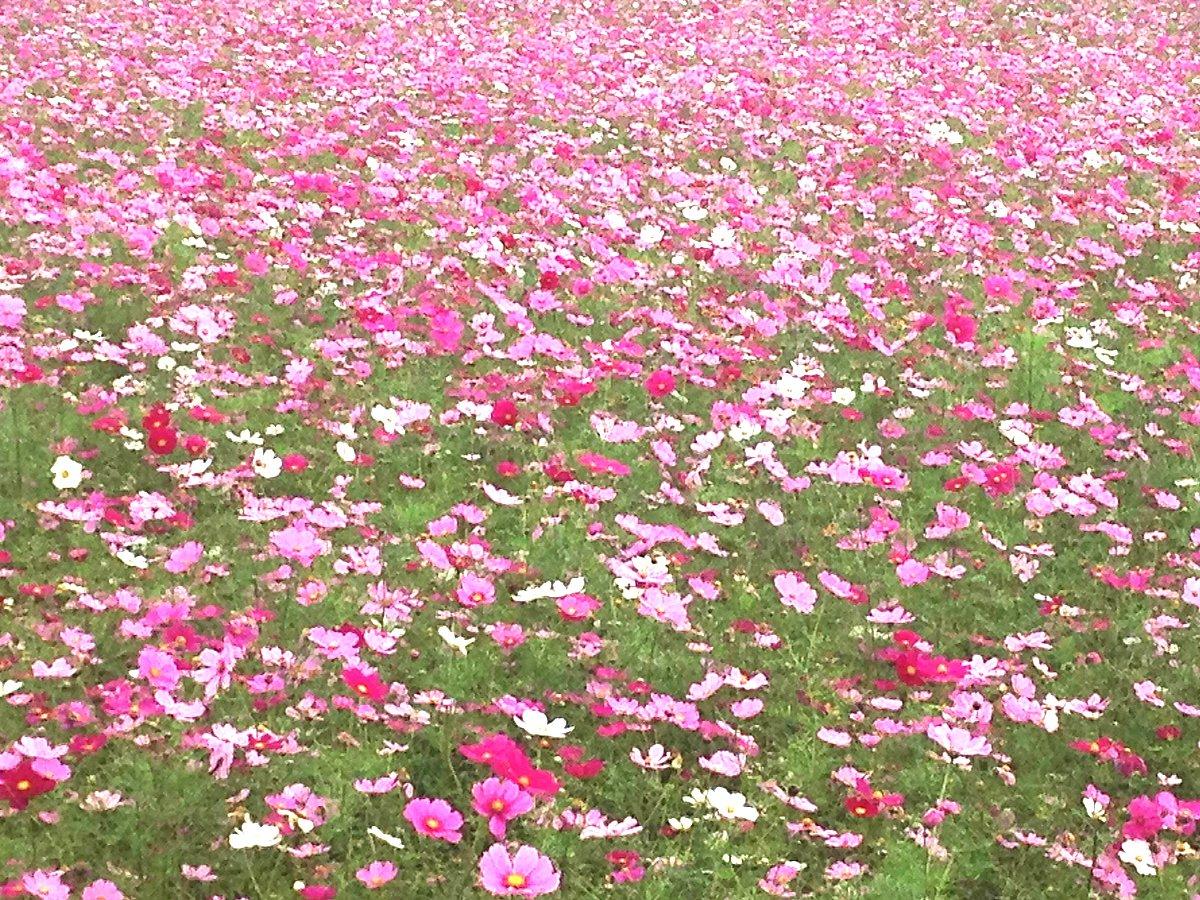 コスモス畑が埼玉の意外なところに