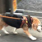ビーグル犬の肺がん手術後の経過と医療費用明細