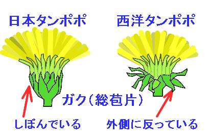 西洋タンポポと日本タンポポの違いを見分けるたった一つのポイント