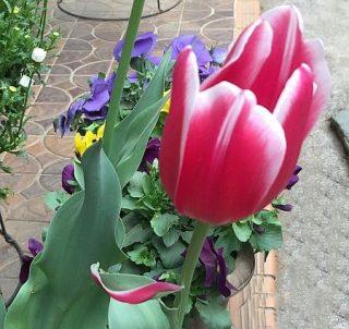 チューリップの葉っぱが赤くなったのは、花びらになりそこねた萼(がく)